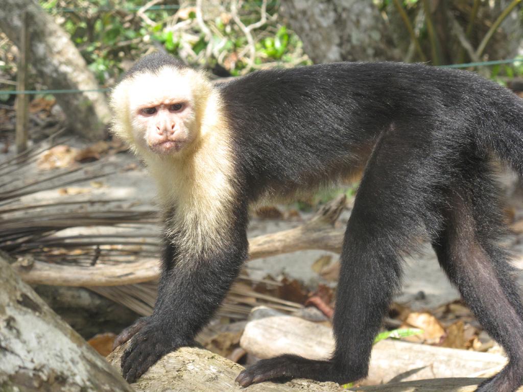 Mono cara blanca