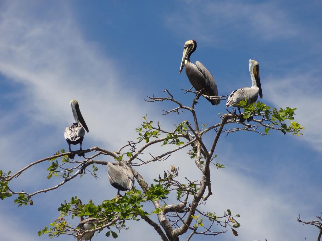 Arbre à pelicans, PN Manuel Antonio