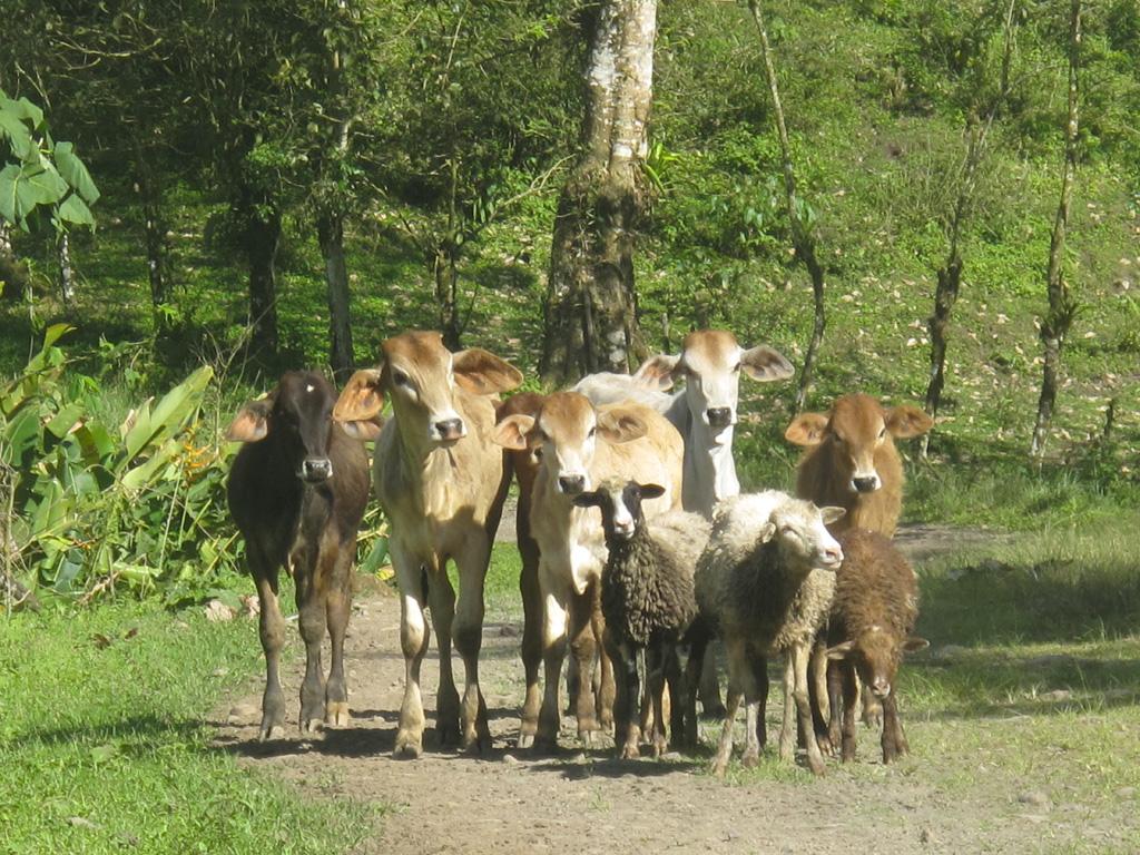 Zebus et moutons