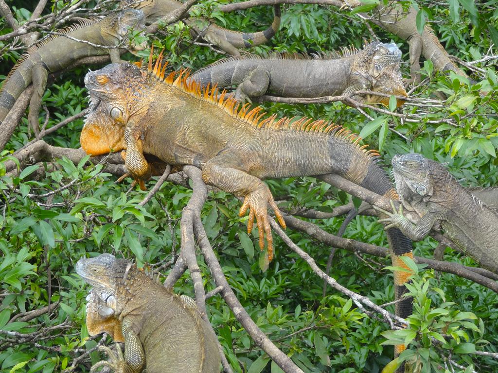 Arbre a iguanes