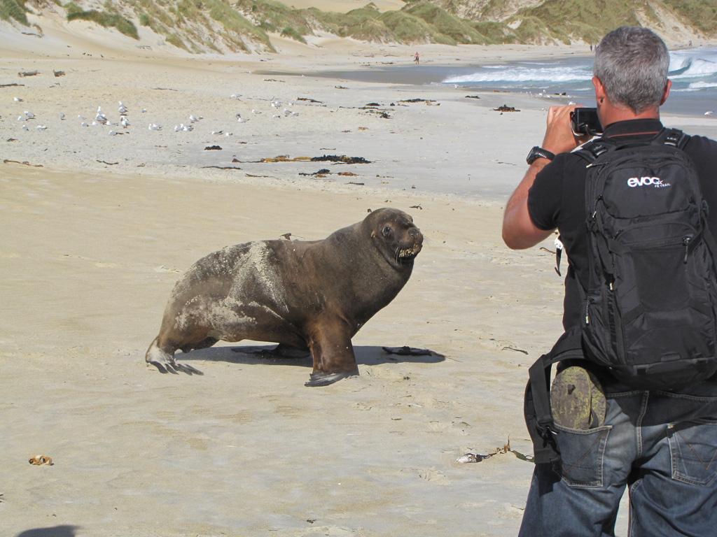 Gil et le morse sur les plages de Dunedin