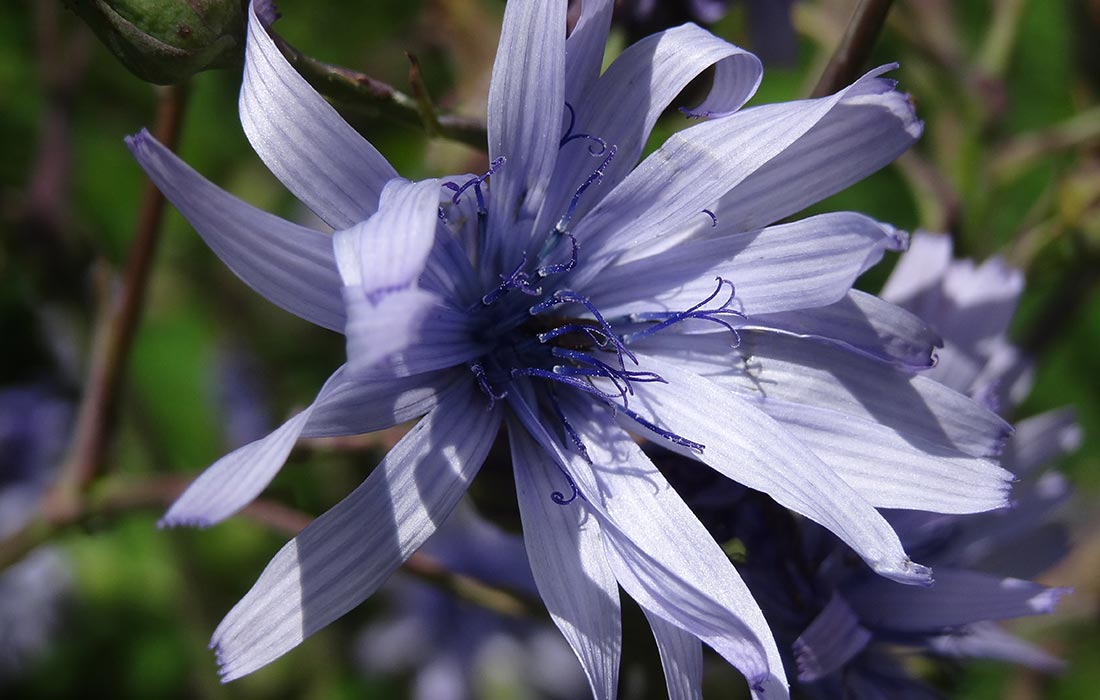 Fleur de mulgédie du plumier