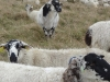 Moutons de race 'Rava'