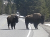 'Bulls on the road'