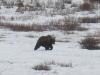Le réveil du Grizzly