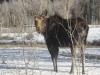 Moose femelle à Yellowstone
