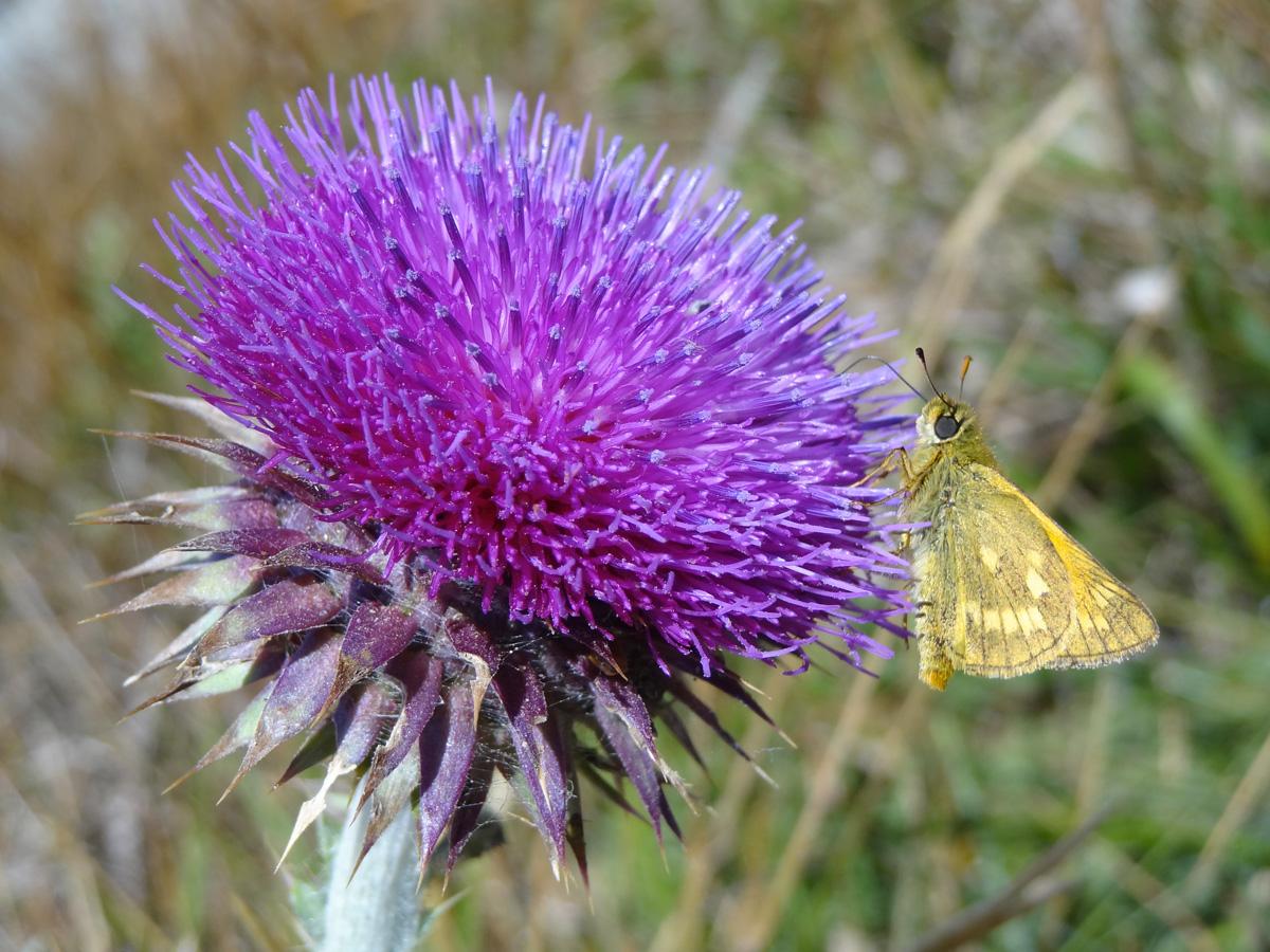 Cirse et papillon
