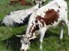 Vaches ferrandaises